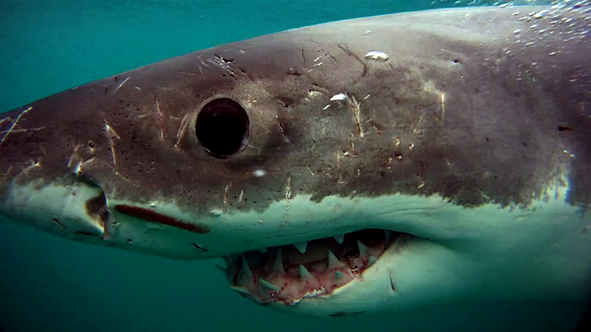 The scarred head of a White shark close up, showing the big black eye and triangular teeth © Dave Abbott