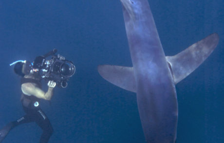 Dave Abbott filming Blue sharks in open water off New Zealand for Liquid Action Films