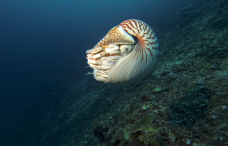 A chambered nautilus in deep water off PNG, Dave Abbott