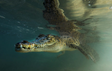 A Saltwater crocodile hanging in the water in PNG, © Dave Abbott