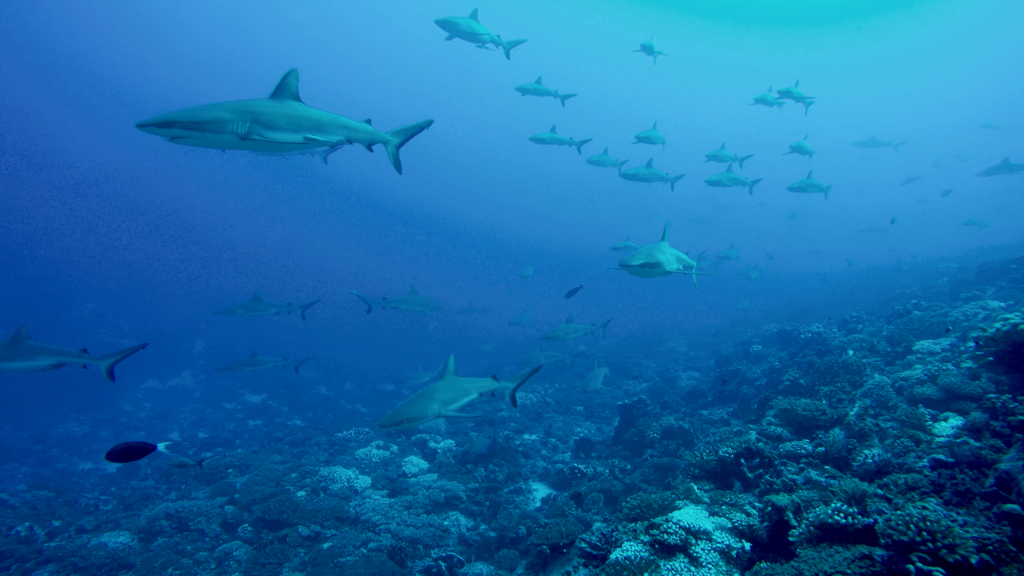 huge school of Reef sharks in the blue waters of Fakarava Pass in Tahiti, © Dave Abbott