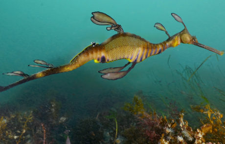 Filming Weedy Seadragons in NSW Australia © Dave Abbott