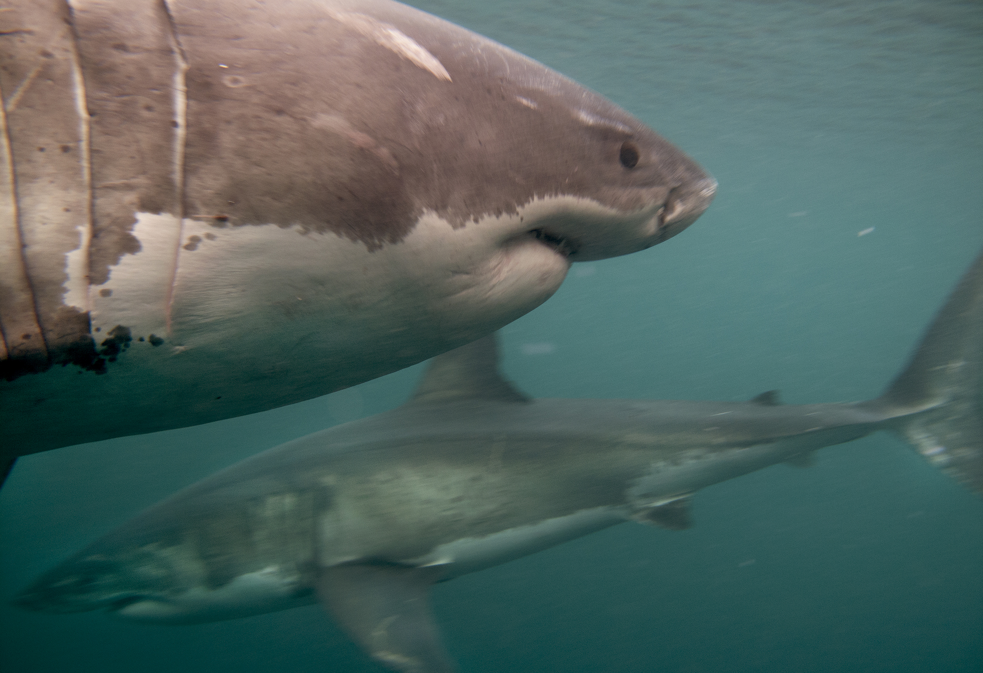 Two White sharks weigh each other up as they pass by in front of my camera © Dave Abbott