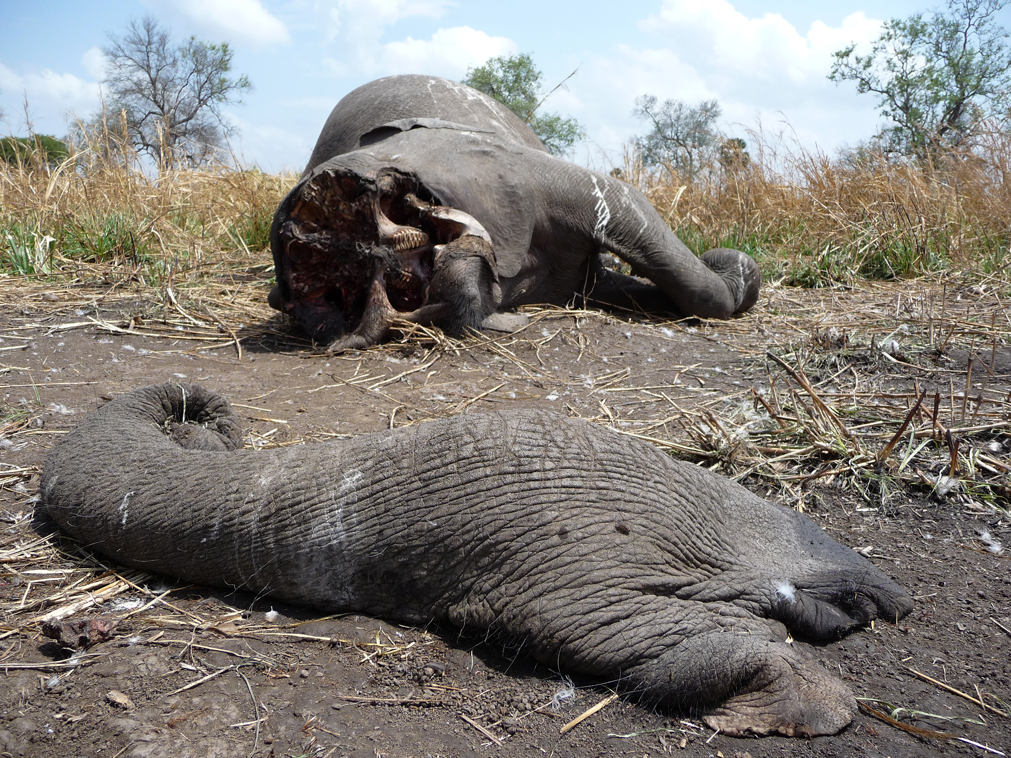 The sad sight of poached elephants, Tanzania © Dave Abbott